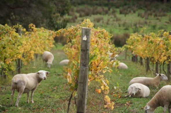 sheep-in-vines